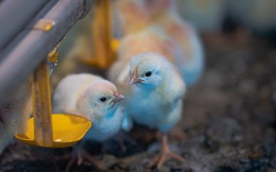 Vacina de imunocomplexo natural é eficiente em aves com diferentes níveis de anticorpos maternos contra Doença de Gumboro