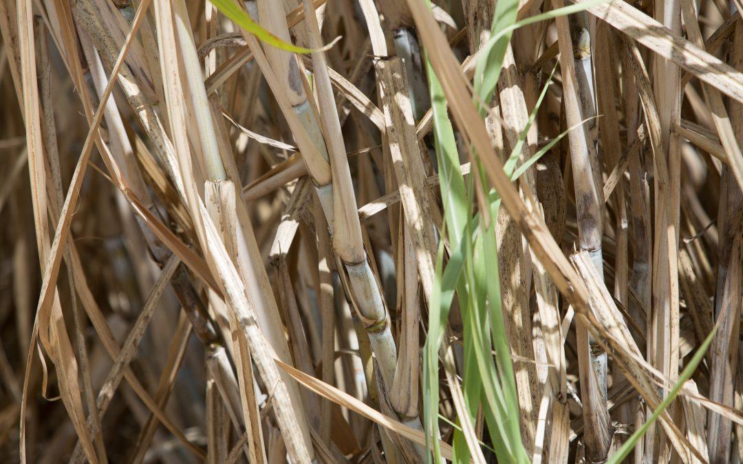 Com risco de quebra na safra, produtor de cana deve investir em manejo eficaz de pragas