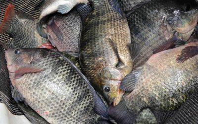 Preço médio da tilápia ao produtor em SP está em R$ 6,76/kg e no Paraná entre R$ 6,77 e R$ 7,41/kg, mostra levantamento do CEPEA