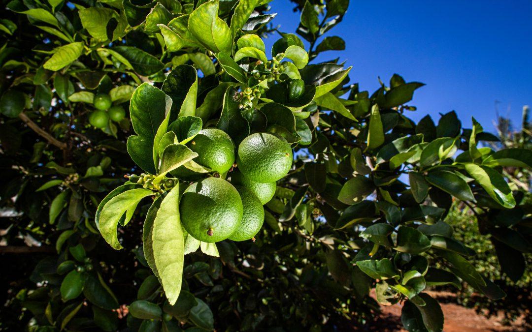 O Brasil é o maior produtor de frutas cítricas. Porém, ter citros de qualidade depende da eficaz proteção fitossanitária no campo