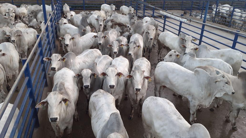 Mais de 2.000 animais em avaliação na 13ª etapa do Circuito Nelore de Qualidade, em Barra do Garças (MT)