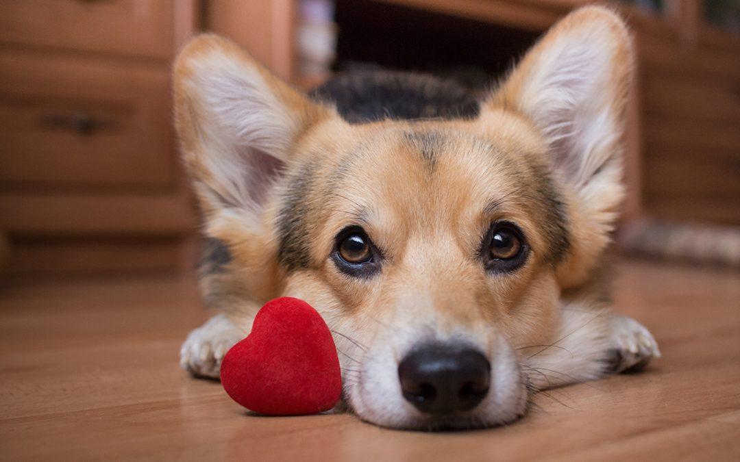 Setembro Vermelho: 3 em cada 10 cães mais velhos têm insuficiência cardíaca