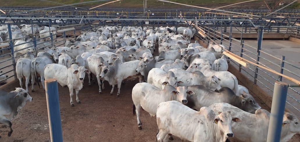 Barra do Garças (MT) tem o maior número de animais avaliados em 23 anos do Circuito Nelore de Qualidade
