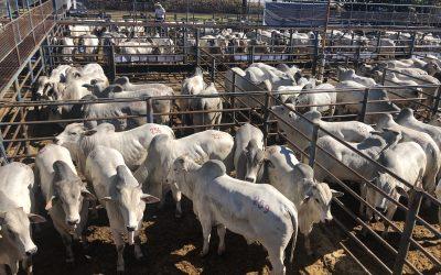 CFM vende 831 touros Nelore CEIP com faturamento superior a R$ 25 milhões